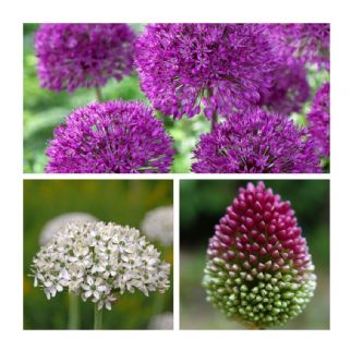 Humphreys Butterfly Allium Collection